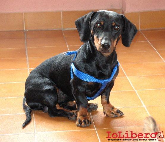 Cane bassotto for Bassotto cane