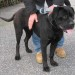 matr. 424.11 cane corso nero maschio entrato il 26.3