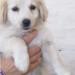 matr. 1185.14 meticcio beige femmina cucciolo  entrata il 10.8.14 da v.Ponte Pisano op