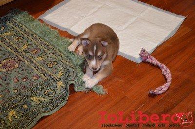 cucciolo marrone e bainco ludo 1