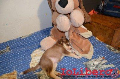 cucciolo marrone e bianco ludo 2