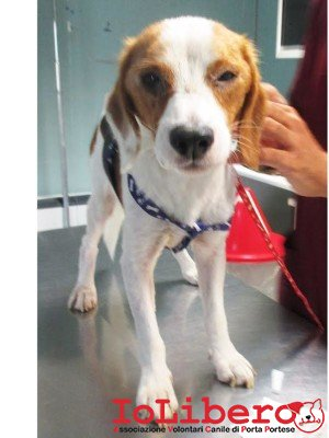 1781 15 beagle