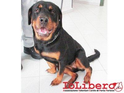 CPD matr. 2082.15 rottweiler nero focato femmina entrata il 23.11.15