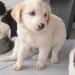 matr. 298.16 meticcio cucciolo bianco arancio femmina entrato 18.2.16 via fosso della solfatara op (3)
