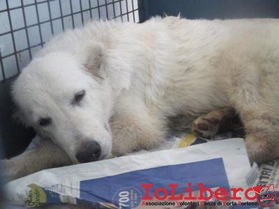 matr. 1192.16 meticcio bianco maschio cucciolo  entrato il 11.7.16 da V. Manfredonia op