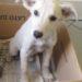 matr. 1239.16 meticcio bianco femmina cucciola entrata il 15.7.16 da V. L Maria Arconati