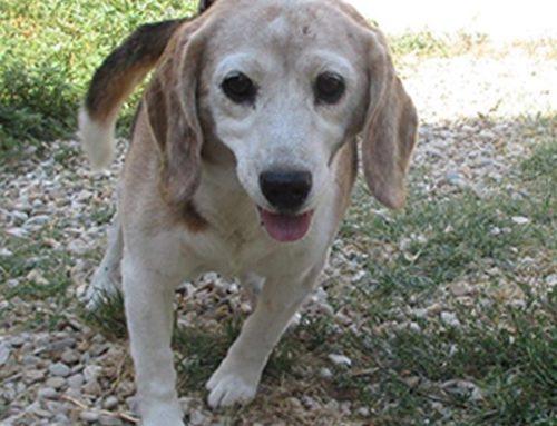TORNATO A CASA – BOB: Beagle tricolore maschio trovato ad Ostia in Via Pietro Rosa