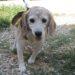 matr. 1500.16 beagle tricolore maschio entrato il 18.8.16 da V. Pietro Ostia
