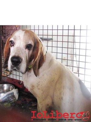 matr. 1506.16 beagle M tricolore entrato il 19.8.16 in via Roccabernarda, 55 in ric mchp 98001100000163804