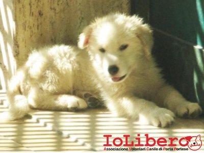 matr. 1526.16 der maremmano bianco maschio cucciolo entrato il 21.8.16 da V. Aurelia km 20.600