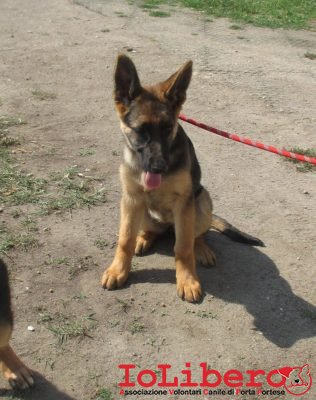 matr-1709-16-pastore-tedesco-nero-focato-maschio-cucciolo-entrato-il-14-9-16