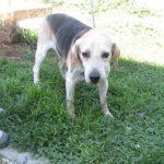 matr-1776-16-beagle-m-tricolore-entrato-il-22-9-16-in-via-delle-canarie-op