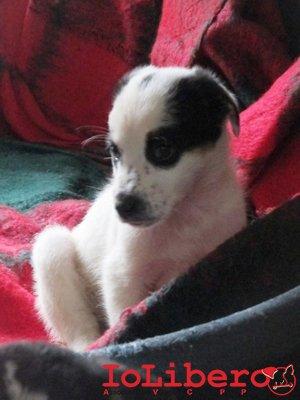 m-1940-16-meticcio-cucciolo-bianco-nero-maschio-nati-23-8-16-immatricolati-18-10-16-9