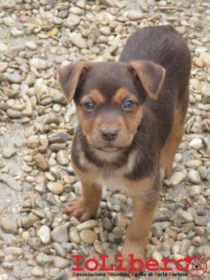 m-1942-16-meticcio-cucciolo-marrone-focato-maschio-nati-23-8-16-immatricolati-18-10-3