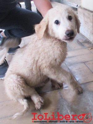 matr-2004-16-maremmano-abruzzese-bianco-femmina-cucciolo-entrata-il-27-10-16