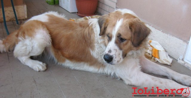 23012011 Cane Femmina Di Taglia Medio Grande Incrocio Simil