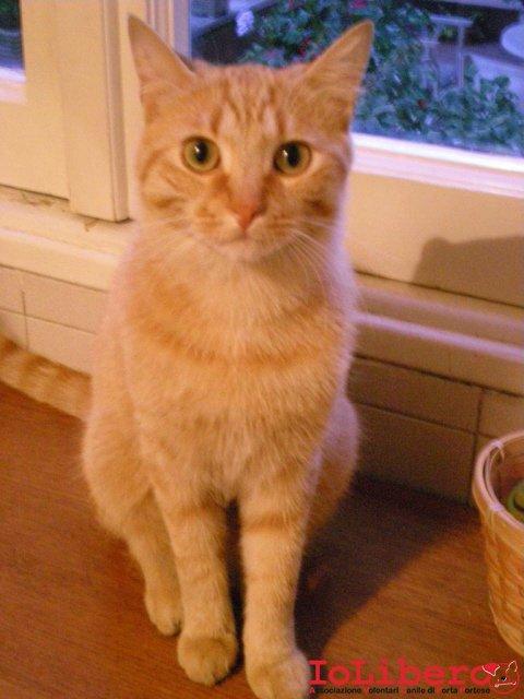 19 06 2011 rousseau gatto maschio di colore rosso for Gatti con occhi diversi