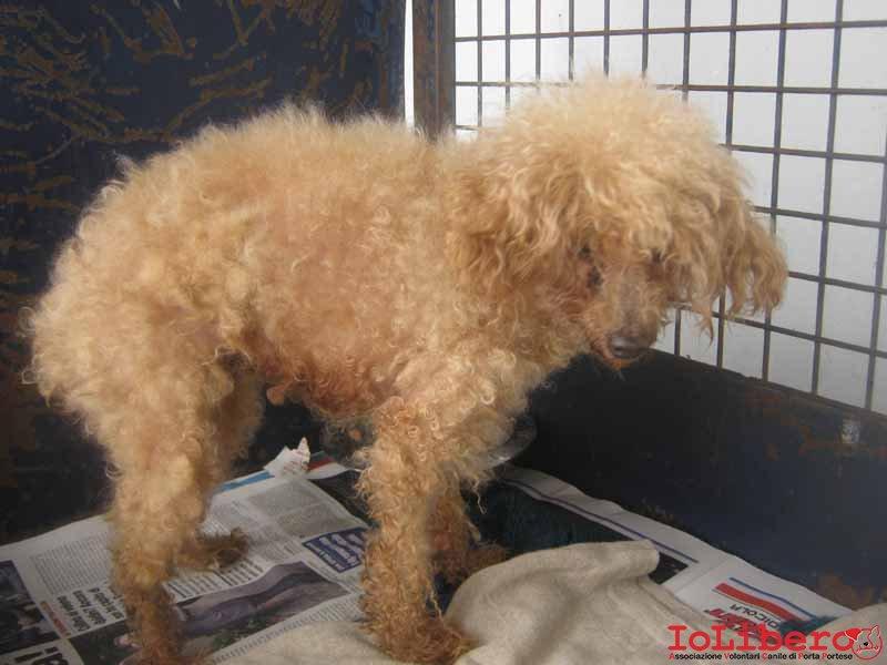 Matr 2081 12 cane barbone nano femmina albicocca entrato for Cane barbone