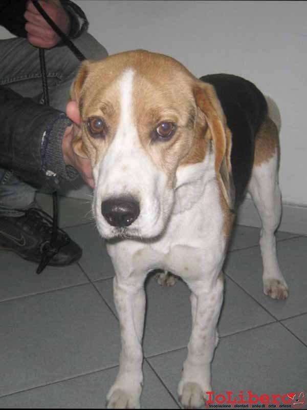 AT m 2319.12 beagle maschio tricolore entrato  13.12.12 Albano TAT RMH 27941 oppure 17941