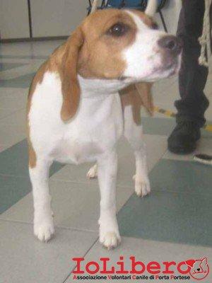 m 245.13 beagle bianco arancio  femmina entrato 10.2.13 valle dei cuccioli petintime