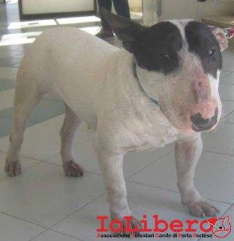 m  631.13 bull terrier femmina bianco nero  MCP 380260040933833