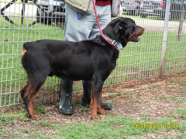 Adottato 23 05 2013 cerca casa cane rottweiler maschio for Piani casa cane trotto