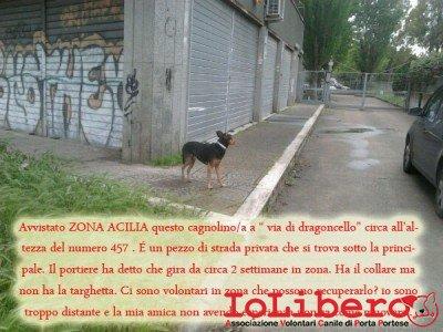 acilia