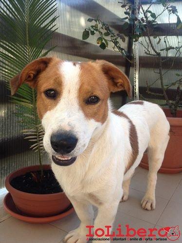 Favoloso 21/07/2013 cane incrocio jack russel-bassotto di circa 2/3 anni  IM69