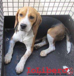 m 1772.13 beagle femmina entrato 13.9.13 petintime (2)