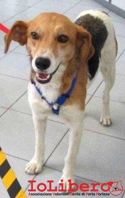 matr. 1712.13 beagle tricolore maschio entrato il 3.9.13 mcp 380260040687044 in affido temporaneo