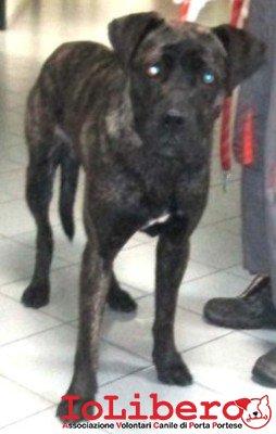 m 2223.13 cane corso maschio tigrato  aurelia  entrato 15.11.13  testadi lepre petintime