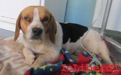 m 39.14 beagle maschio tricolore entrato 7.1.14 via castel di leva
