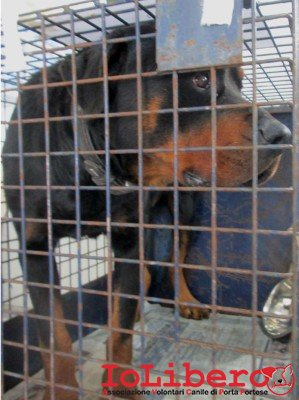matr 125.14 entrato 21.1.14 Rottweiler M NF Op ric mchp 380098100840060 Via Rosciano