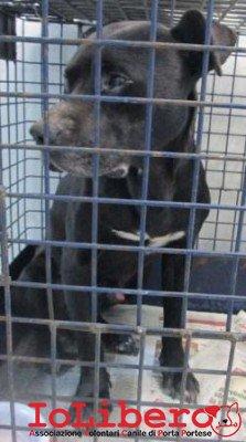 m 181.14  pit bull  nero maschio entrato staz ponte mammolo  MCP 380260000596732 petintime
