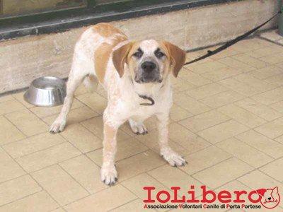 matr. 295.14 meticcio bianco marrone cucciolone maschio entrato il 20.2.14  abbandonato in canile