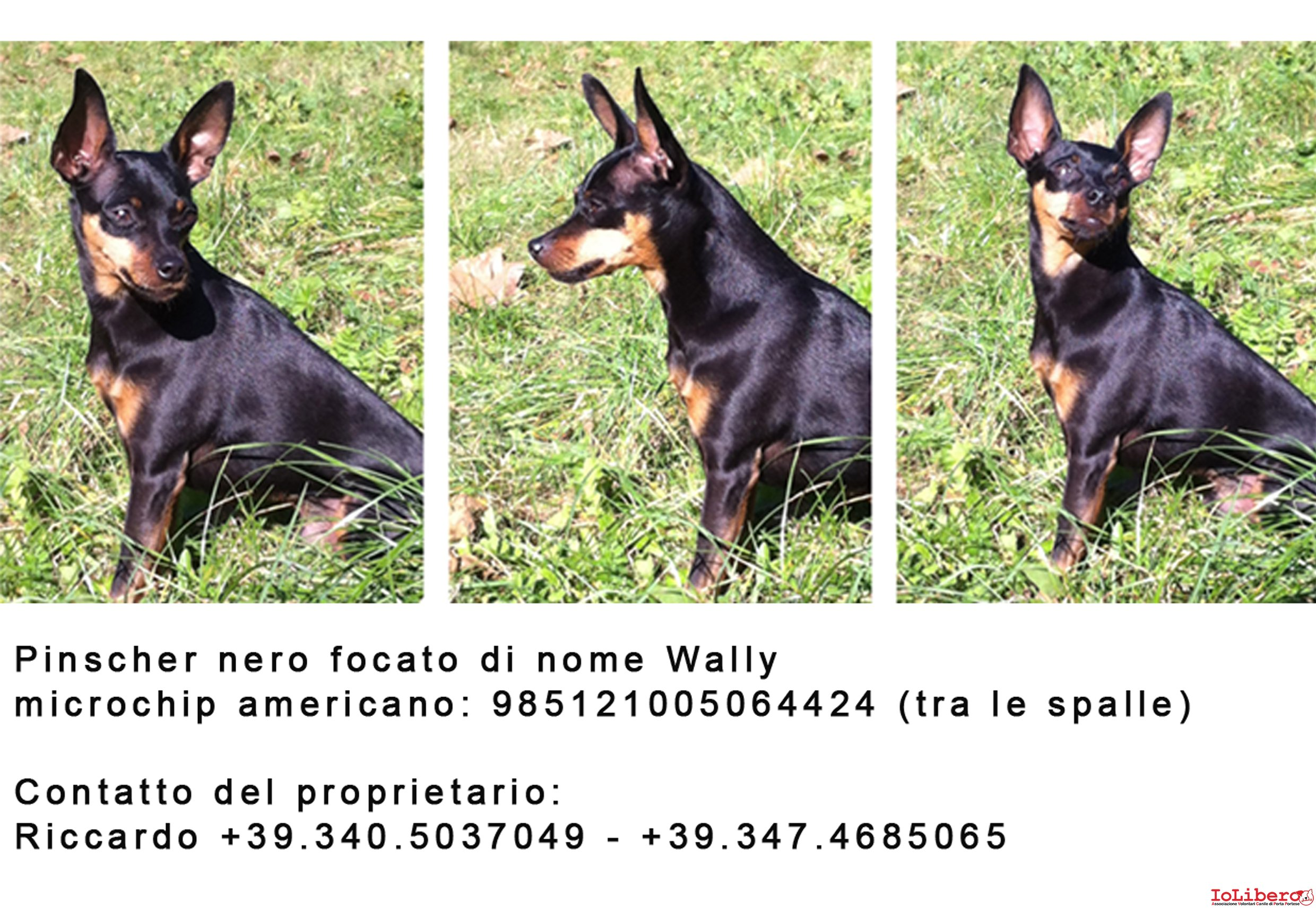 RITROVATO! 08/02/2014 Smarrito, Wally, cane pinscher. No ...