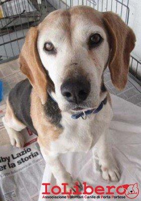 matr. ex 2063.14 beagle tricolore maschio entrato il 29.3.14 da V. M F Nobilione  mcp 380098100764545