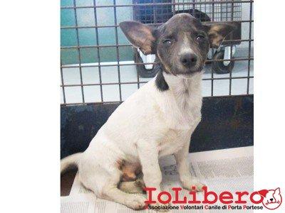 matr. 1015.14 meticcio tricolore maschio cucciolo  entrato il 15.7.14 da Campo Nomadi V. Candoni