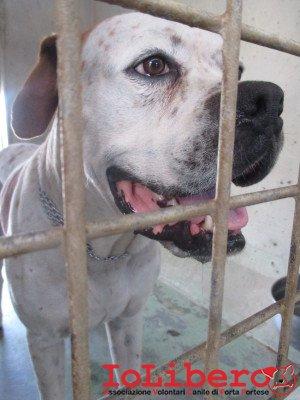 matr. 1222.14 am. bulldog bianco arancio maschio entrato il 14.8.14 da GRA XII op (2) (1)