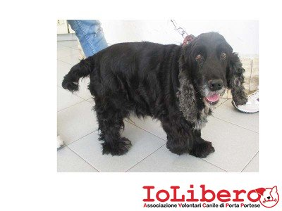 IN AFFIDO TEMP. matr. 1374.14 cocher sp. femmina nero entrato il 8.9.14 in Via Tor Carbone  ric mchp 977200005661039