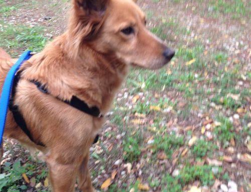 FUORI DALLE GABBIE! Marion, oggi Bandita, dolcissima e bellissima cucciola fulva