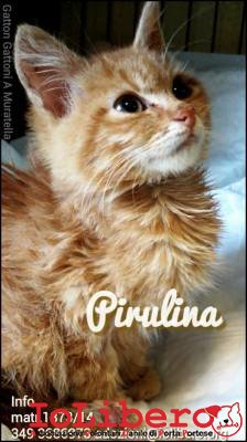pirulina1