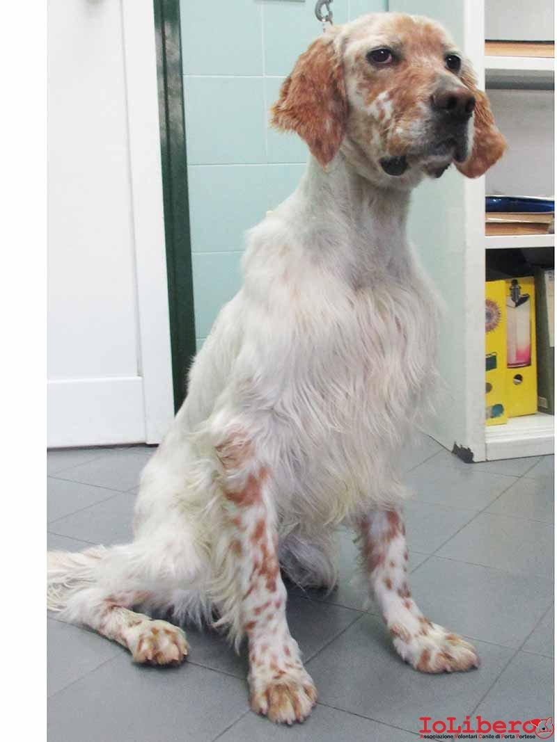 Tornato a casa matr 488 15 cane setter inglese bianco e for Cane setter