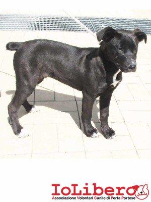 matr. 444.15 meticcio nero maschio cucciolo  entrato il 6.4.15 da V. Rosati op