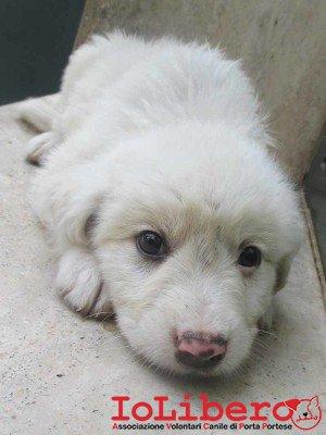 matr. 802.15 meticcio bianco maschio cucciolo entrato il  26.5.15 da L.go Stanislao Fadda op
