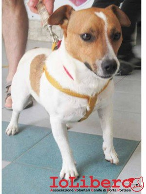 1311 jack russell
