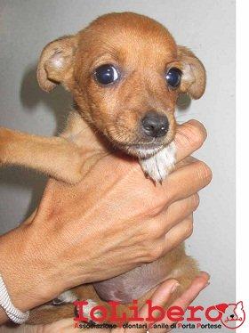 matr. 1019.15 meticcio fulvo maschio cucciolo entrato il 24.6.15 da V. T. Da Casauria