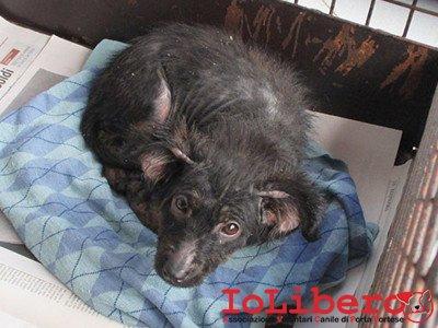matr. 2156.15 meticcio femmina nero cucciolo entrato 9.12.15 via filippo toni