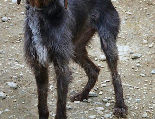 Gastone è un drathaar marrone maschio che è stato trovato in Via Foschini, cane di razza, ma ancora non si è trovata la sua famiglia
