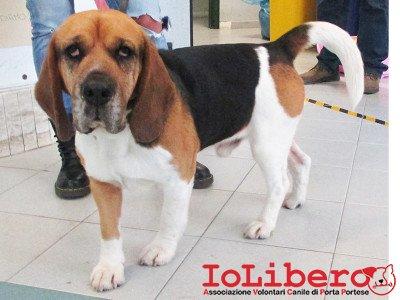 A.T. matr. 1665.15 beagle tricol maschio entrato il 14.1.16 da Casal Lombroso mcp 380260080192022